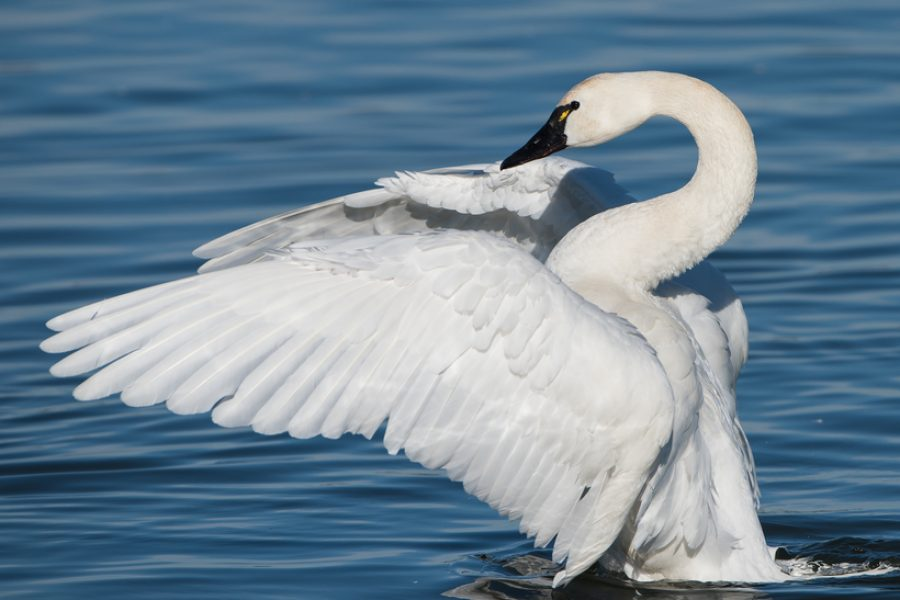 Huff Post: Drilling in the Arctic Refuge Threatens the World's Birds