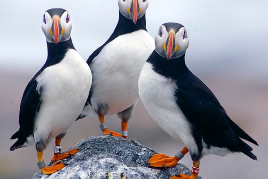 Huff Post Op-Ed: Puffin Wintering Grounds Need To Be Protected